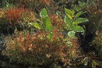 Rundblaettriger Sonnentau (Drosera rotundifolia)