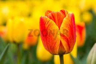 beautiful tulips blooming