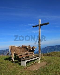 Calves, bench and summit cross on top of mount Fronalpstock