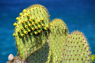 Galapagos prickly pear on Rabida Island in Galapagos National Park, Ecuador.
