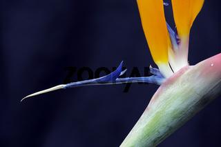 Strelitzie, Paradiesvogelblume, Strelitzia reginae, Detailaifnah