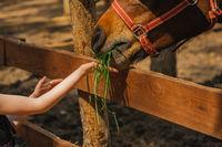 young girl feeding horse in a farm