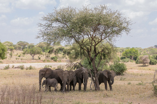 Eelefanten Herde im Tarangire Nationalpark