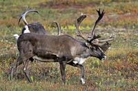 Karibu / Alaska-Karibu / Rentier / Karibubulle / Rangifer tarandus granti / Bastgeweih
