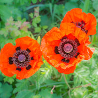 impressive red poppies in sunlight