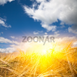 sunlight to the wheat