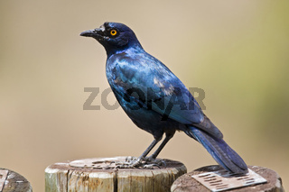 Rotschulterglanzstar, Glanzstar (Lamprotornis nitens), Suedafrika, Afrika, Red-shouldered Glossy-starling, South Africa