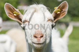Ziege goat