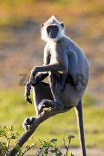 Hanuman-Langur - Bundalla NP, Sri Lanka