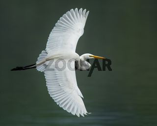Great Egret IV
