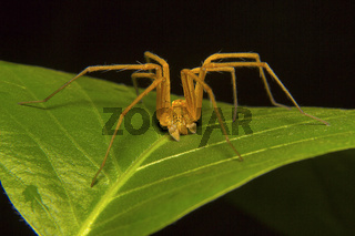 Fishing spider male, Pisuridae, Aarey Milk Colony, Mumbai, Maharashtra