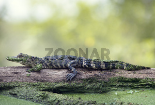 Young alligator basking on a log