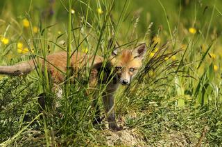 curious fox cub hiding in the grass