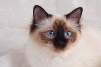 HEILIGE BIRMA KATZE, BIRMAKATZE, SACRED CAT OF BIRMA, BIRMAN CAT, SEAL-POINT, PORTRAIT,