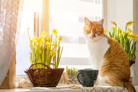 Cute funny red-white cat on the windowsill with blossom yellow daffodils