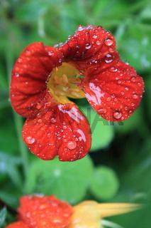 Regen, Blüte, Kapuzinerkresse