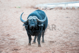 An African buffalo is smelling the air for signs of danger