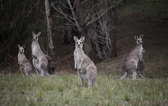 Mob of kangaroos in bushland