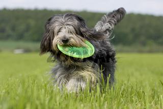 Tibet Terrier, Tibetan Terrier