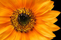 Orange Sunflower Closeup