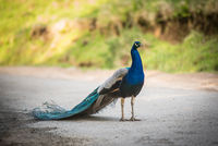 Peacock male outdoors