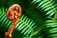 Unravelling fern frond closeup