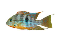 Yellow Fire Mouth (Thorichthys affinis) - male, isolated