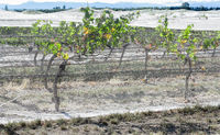 grape vines with bird netting.