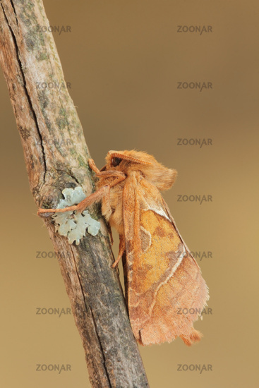 Ampfer-Wurzelbohrer (Triodiasylvina)