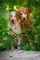 BENZ KERSTIN - GOLDEN RETRIEVER-22.jpg