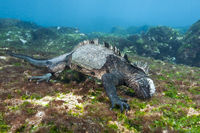 Galapagos-Meerechse, Galapagos, Ecuador