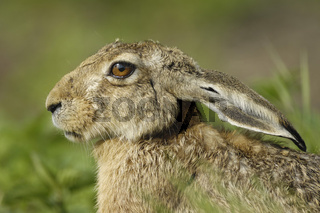 Europaeischer Feldhase, Portrait,  Lepus europaeus, European Hare