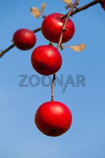 Rote Äpfel auf Baum im Herbst