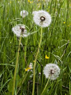 Pusteblume in der Wiese, common dandelion in a meadow