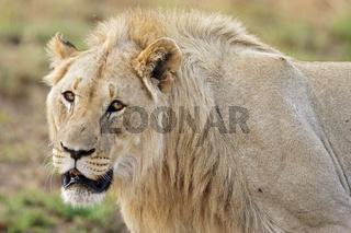Loewe maennlich (Panthera leo) Pilanesberg National Park, male lion in Pilanesberg Game Reserve, South Africa
