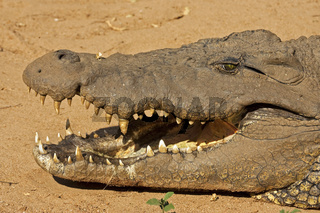 Nilkrokodil (Crocodylus niloticus), Suedafrika, Afrika, Nile crocodile, Pilanesberg Game Reserve, South Africa