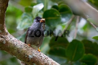 Mauritiusbülbül (Hypsipetes olivaceus)