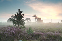 misty sunrise and flowering heather