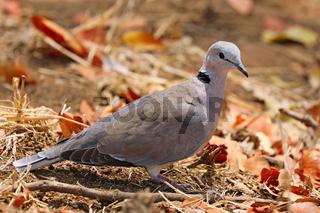 Kapturteltaube, Südafrika, cape turtle-dove, South Africa, Streptopelia capicola