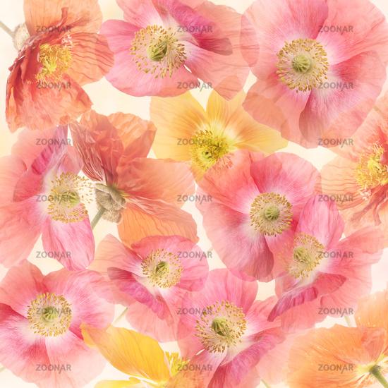 Poppy Flowers Blossom