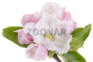 blooming blossoms of apple tree isolated over white background