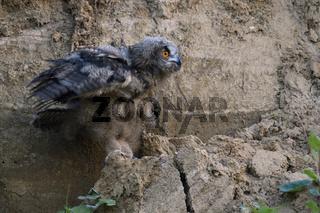 junger Uhu in der Wand einer Sandgrube... Europäischer Uhu *Bubo bubo*