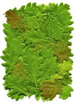 The leaves of oak