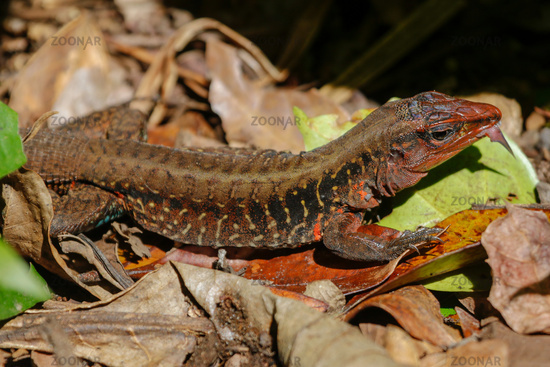 a Lizard in the Cahuita National Park Costa Rica