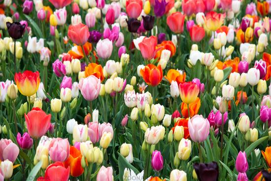 Beautiful tulips in the garden