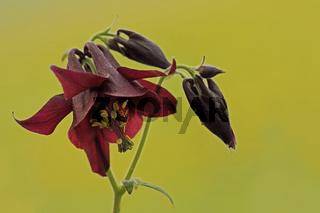 Schwarzviolette Akelei (Aquilegia atrata)