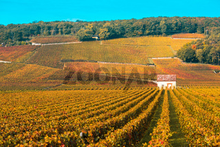 Vineyards in the autumn season, Burgundy, France