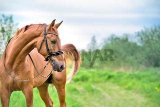 portrait of sportive chestnut horse