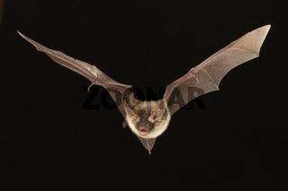 Bechstein-Fledermaus, Myotis bechsteinii