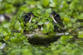 Wasserfrosch (Rana esculenta), edible frog